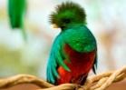 Quetzal, el ave sagrada de plumas preciosas y vínculo de divinidad - Más  México