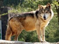 Habrá aullido del lobo gris mexicano para largo