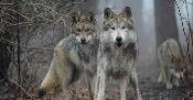 Tras décadas de bordear la extinción, aparecen nuevos ejemplares del lobo  mexicano - Foro Ambiental MX