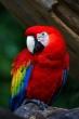 Guacamayo Rojo (Ara Macao): Una de las más conocidas y vistas. Mide  aproximadamente 85 cm. Es un guacamayo sem… | Aves de compañía, Loros,  Fondo de pantalla de aves