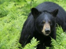 Profepa investiga castración de oso negro en Monterrey luego de ser  atrapado - Infobae