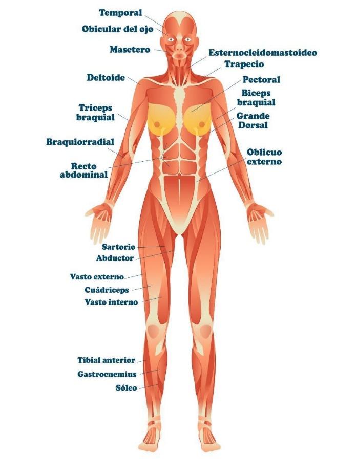 sistema muscular frontal